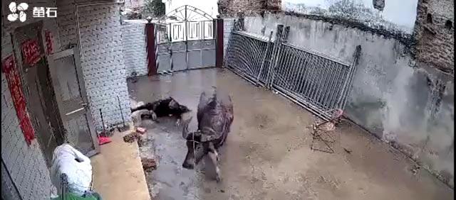 七旬老人遭待宰公牛攻击,监控拍下可怕瞬间